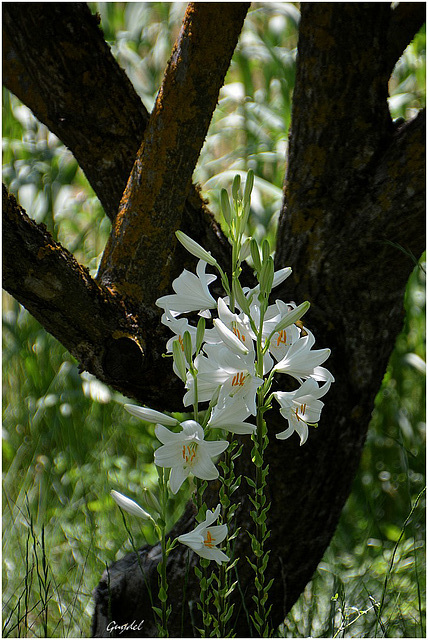 Le Bouquet de Lys ...