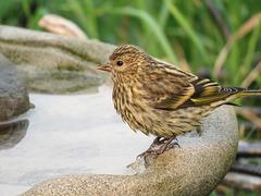 Pine Siskin taking a bath