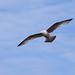Seagull May set (21)