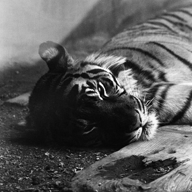 Bored Tiger - London Zoo 1982