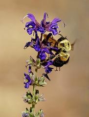 Bee.  5195149