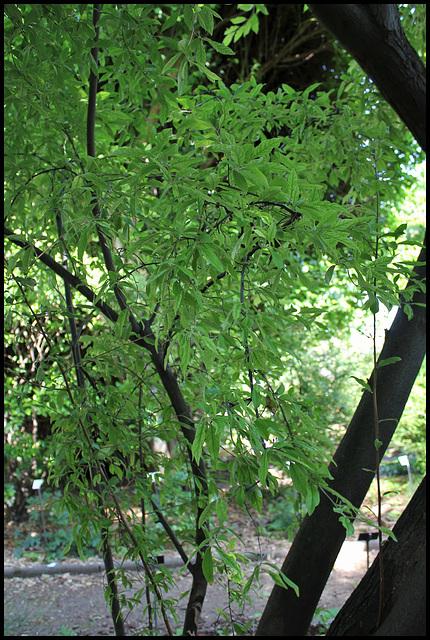 Elaeagnus multiflora (3)
