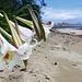 Taiwan lilies