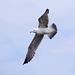 Seagull May set (24)