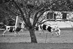cabriole de vache