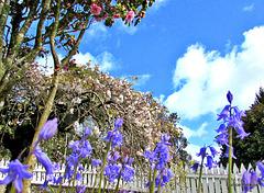 Bluebells, Camellias and Blossom