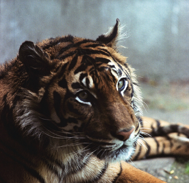 Tiger - London Zoo 1982