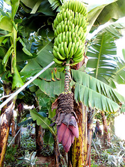 Im Land wo die Bananen blühen... In the country where the bananas bloom... ©UdoSm
