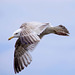 Seagull May set (25)
