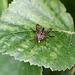 20110519 2921RMw [D~MI] Schnepfenfliege (Rhagio scolopaceus), Großes Torfmoor, Hille