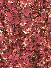 barberry blossoms
