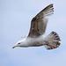 Seagull May set (26)