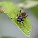20110519 2949RMw [D~MI] Blattwespe (Macrophya duodecimpunctata), Großes Torfmoor, Hille