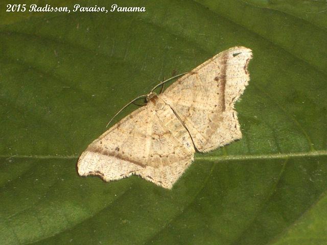 P007R Macaria sp.