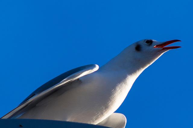 Black-Headed Gull (crop)