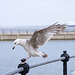 Seagull May set (29)