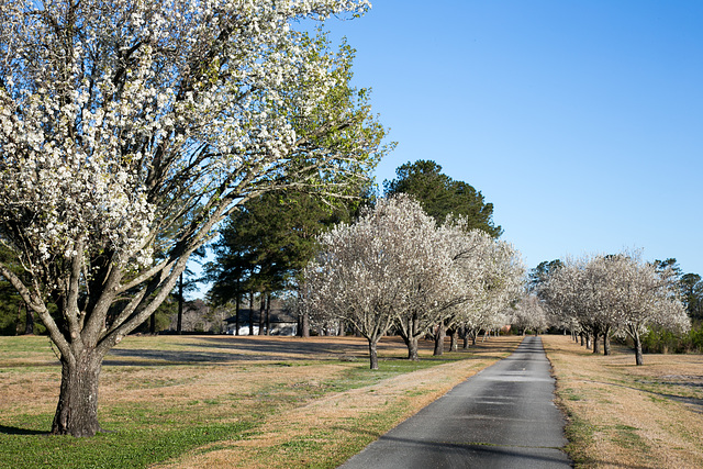 Spring pear trees