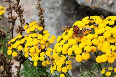 Rainfarn - Insektenfreundliche Blume