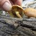 Gymnopilus species