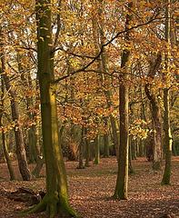 Sunset light blazing through Gosforth Wood
