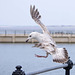 Seagull May set (30)