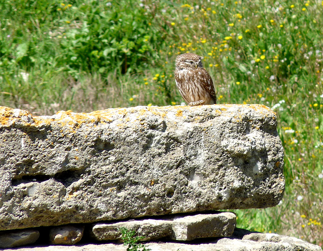 Troy- Little Owl at the Sanctuary