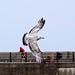 Seagull May set (31)