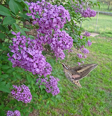 White Lined Sphinx Moth (Hyles lineata) on Lilac