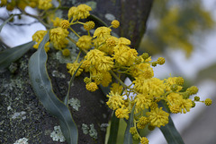 Acacia retinodes, Mimosa  DSC1566
