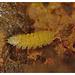 Ant woodlouse EF7A2422