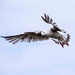 Seagull May set (32)