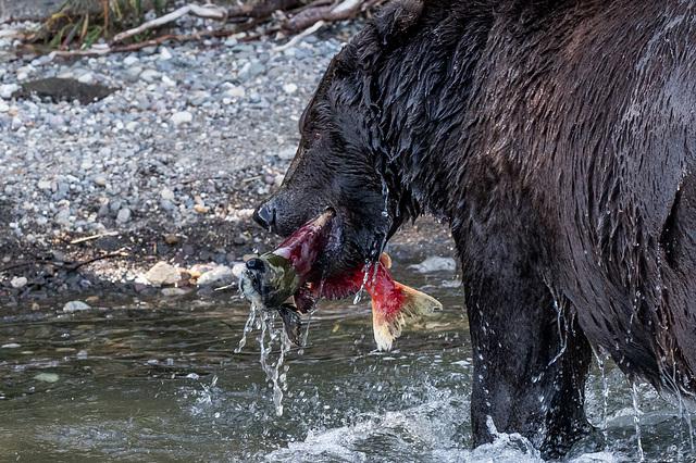 Brown bear in Kamchatka