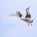 Seagull May set (33)