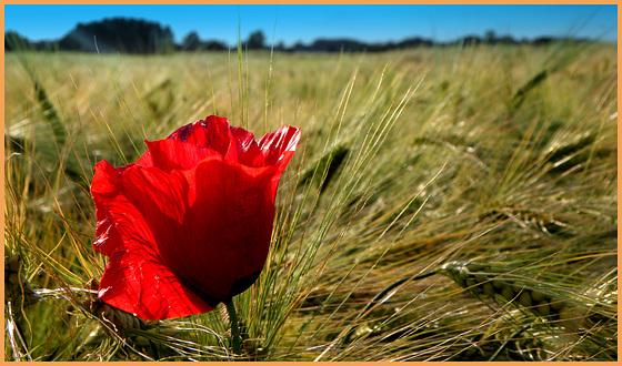 Alone between Barley