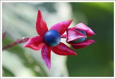 HARLEKIN - LOSBAUM - Frucht