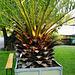 Hortus Botanicus 2018 – Canary Island date palm