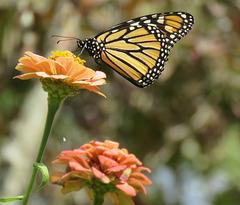 The Monarch ..