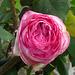 Rose de Ronsard...