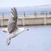 Seagull May set (37)