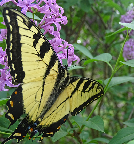 Eastern Tiger Swallowtail (Papilio glaucus)(m)