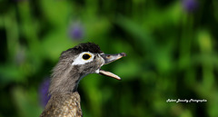 Profile de canard ( Femelle branchu )
