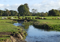 Autumn grazing on the river Ax.