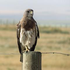 Swainson's Hawk / Buteo swainsoni