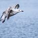 Seagull May set (38)