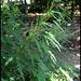 Urtica cannabina (4)