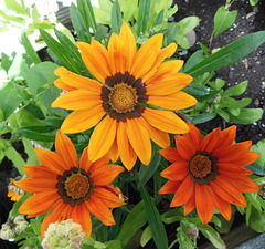 T like THREE gazania flowers