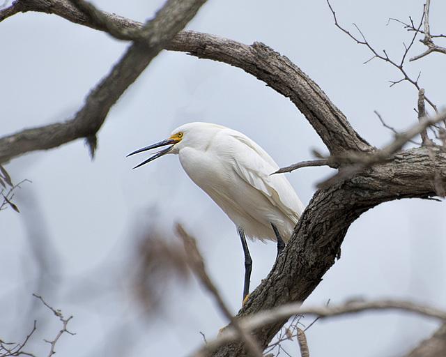 Juvenile Snowy Egret or White Heron     TSC Birds