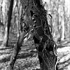 Tree trunk with vines