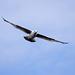Seagull May set (41)
