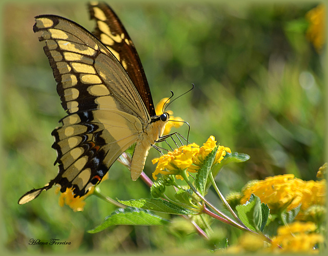 ~ Light, Butterfly and Yellow ~